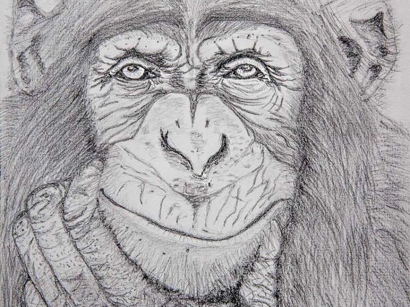 Chimpanzee - pencil drawing